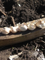 garlic bulbs saved for planting