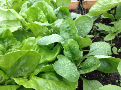 spinach in raised bed
