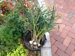 garlic after harvest