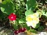 nasturtium and dianthus