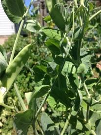Snow peas ready to eat