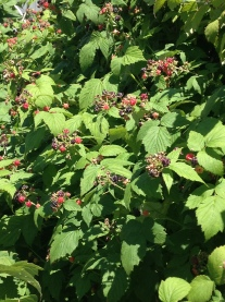 Black raspberries ready to harvest