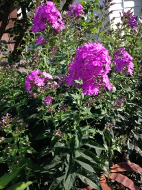 Phlox in bloom