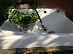 Mint ready for washing