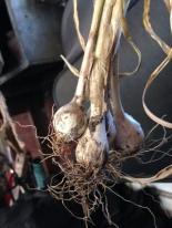 Mini bulbs grown from spring cloves