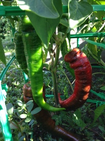 Carmen peppers (saved seeds)