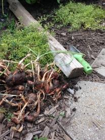 Fresh dug shallots