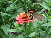 Monarch perched on zinnia