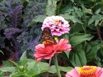Monarch, zinnia, tomato and kale