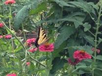 Swallowtail, zinnia and tomato