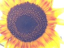 Sunflower with aura